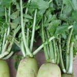 Radish-Greens-1